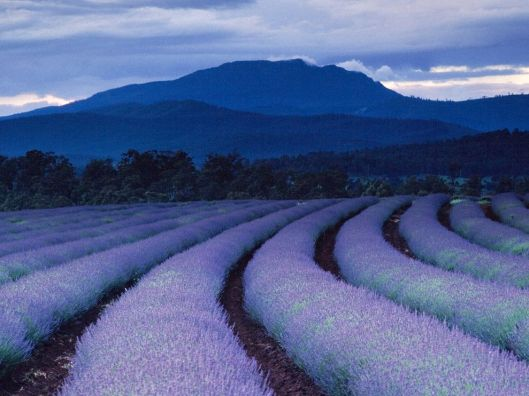 purple-fields-ludwig_1490_990x742